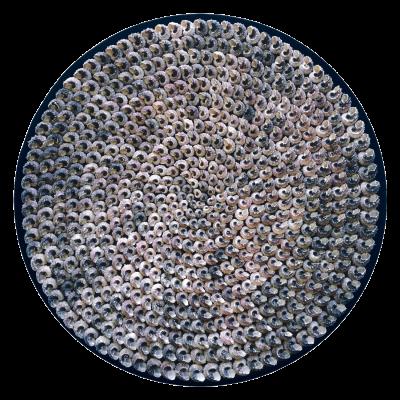 Uit de serie Reflectie: wandobject met hondeerden Angaria slakkenhuizen op zijden fluweel. Ø 97cm. Het parelmoer reflecteert het opvallende licht.